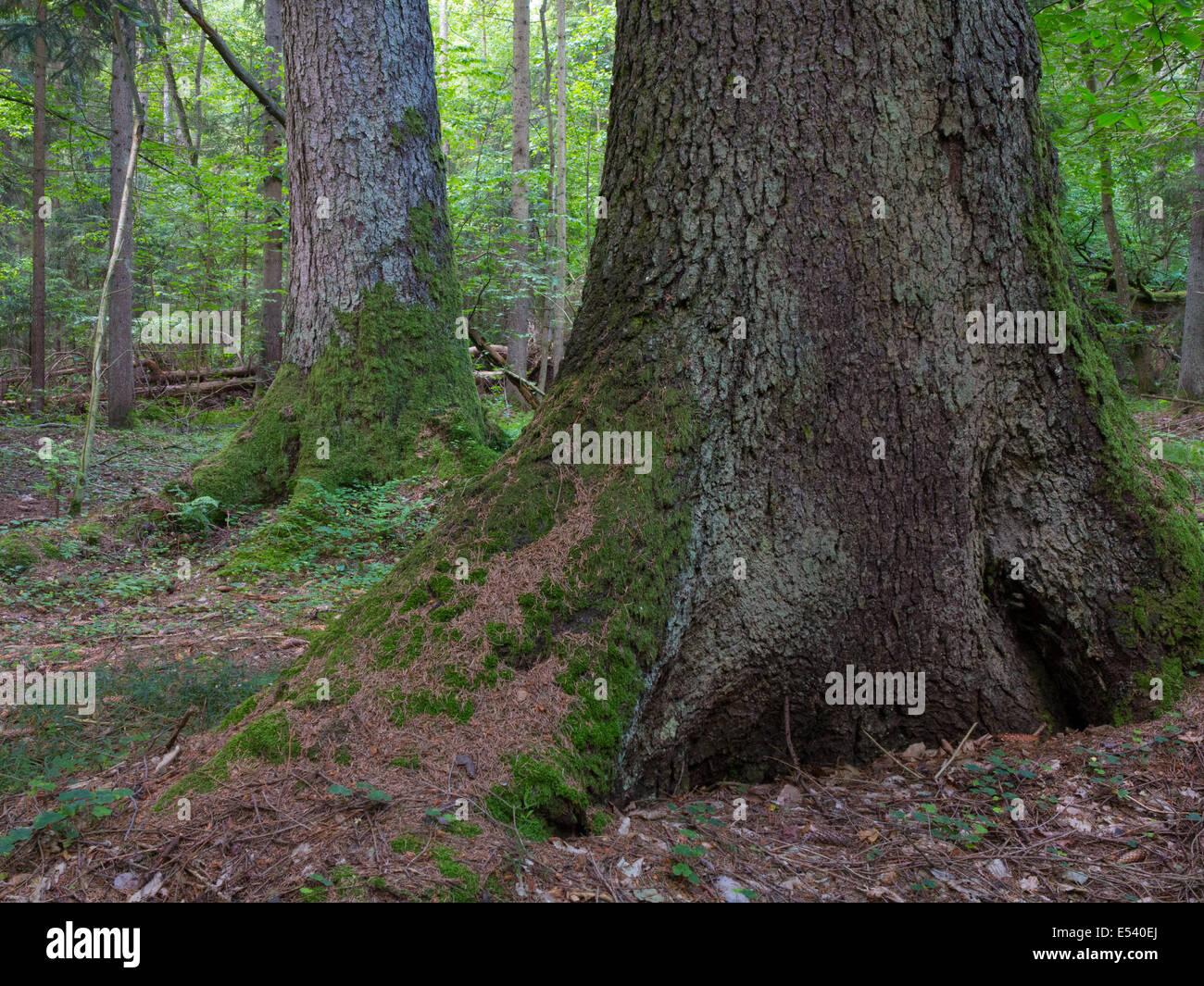 Monumental old spruces in summertime stand of Bialowieza Forest - Stock Image