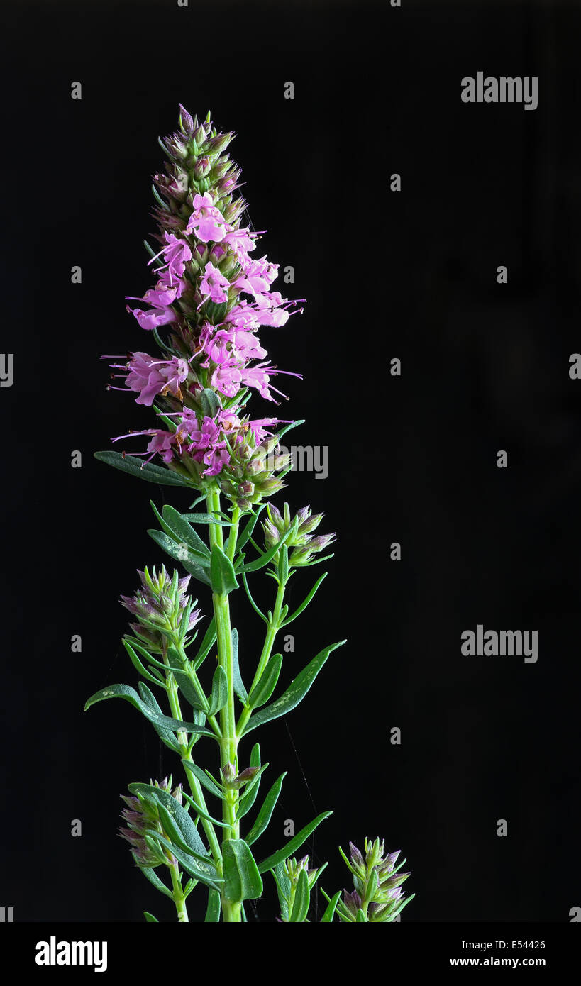Giant pink hyssop used as spice and salubrious herb on dark background - Stock Image