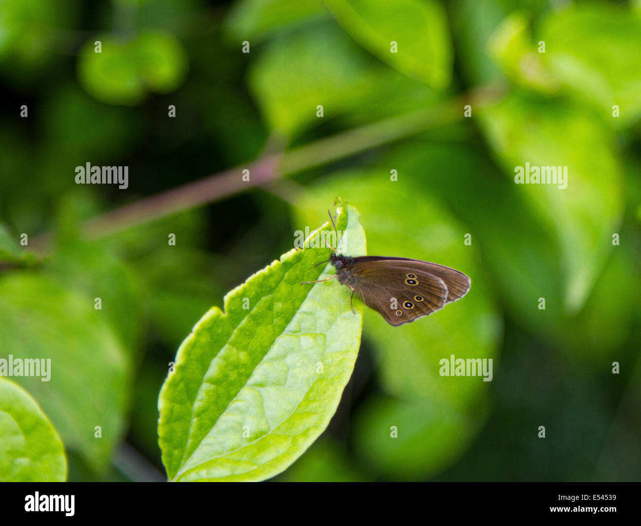 A ringlet butterfly showing the underside of its wings on a leaf in a Surrey field. Stock Photo