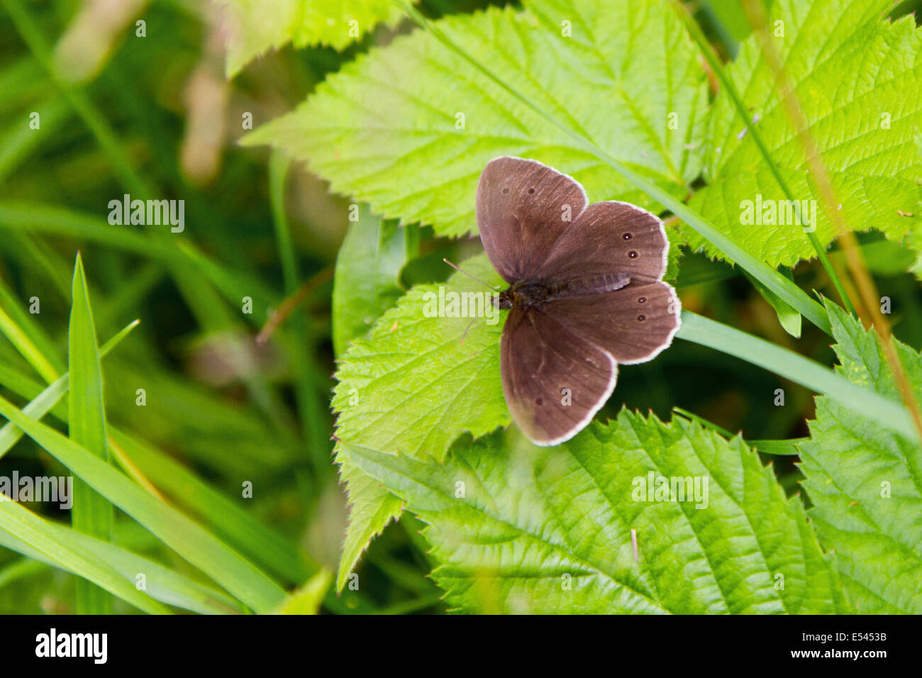 A ringlet butterfly basking in the sun on a leaf in a Surrey field. Stock Photo