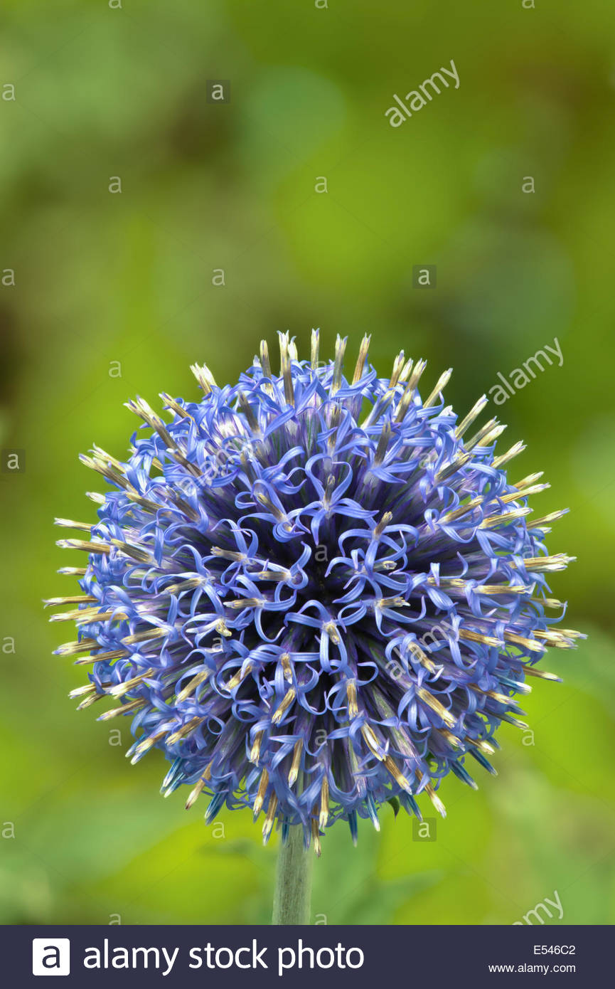 Echinops bannaticus Taplow Blue Globe thistle summer flower perennial garden plant bloom blossom close-up closeup - Stock Image