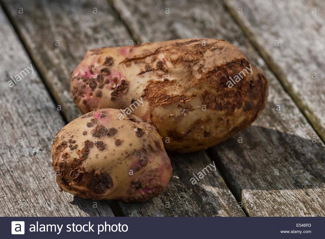 Common scab on potato tuber Streptomyces scabies micro-organism damage crop dryness vegetable kitchen garden problem - Stock Image