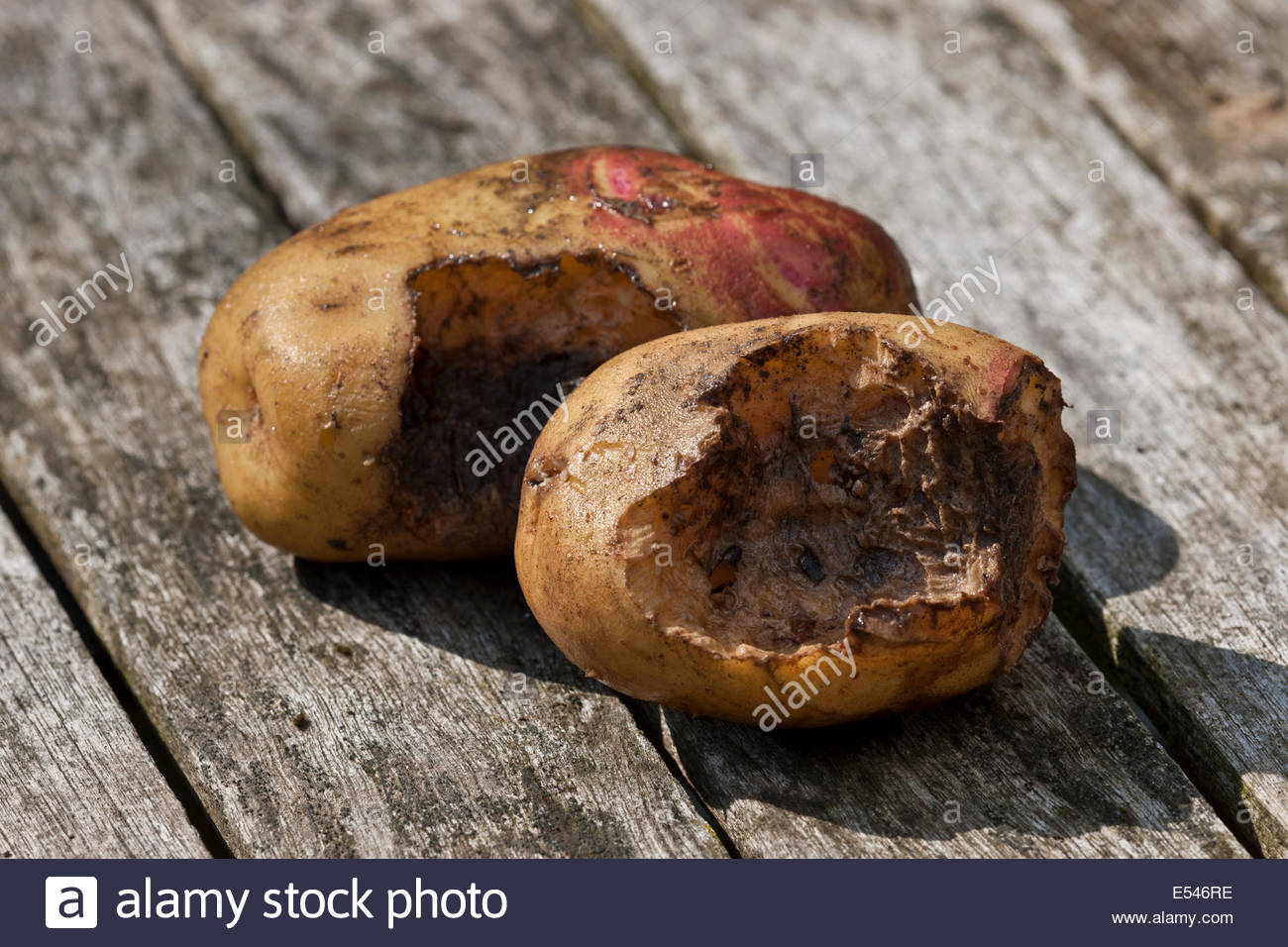 Rodent damage on potato tuber mouse mice rat eating digging problem kitchen garden plant - Stock Image