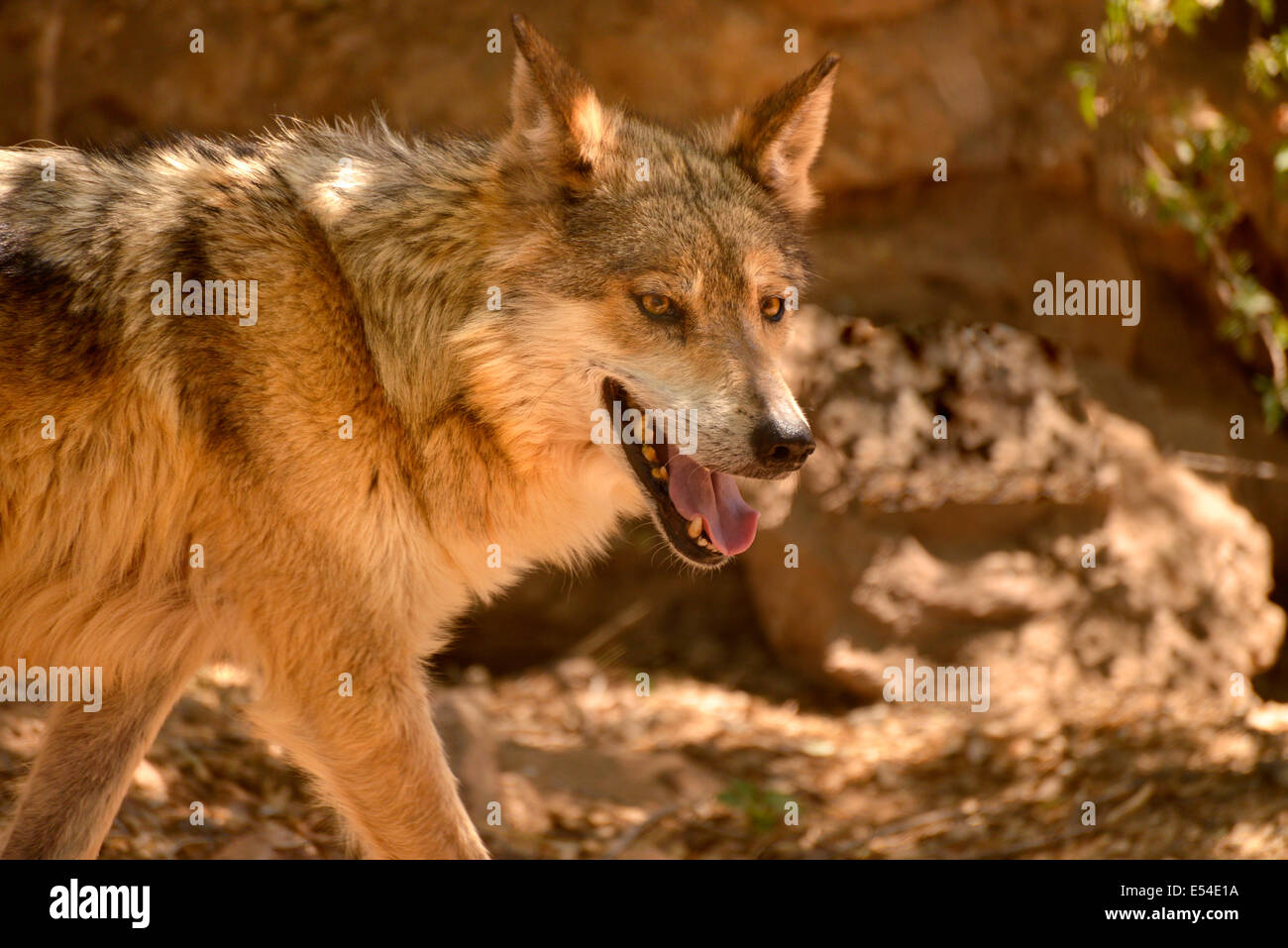 A Mexican Grey Wolf, (Canis lupus spp. baileyi), resides at the Arizona-Sonora Desert Museum, Tucson, Arizona, USA. - Stock Image