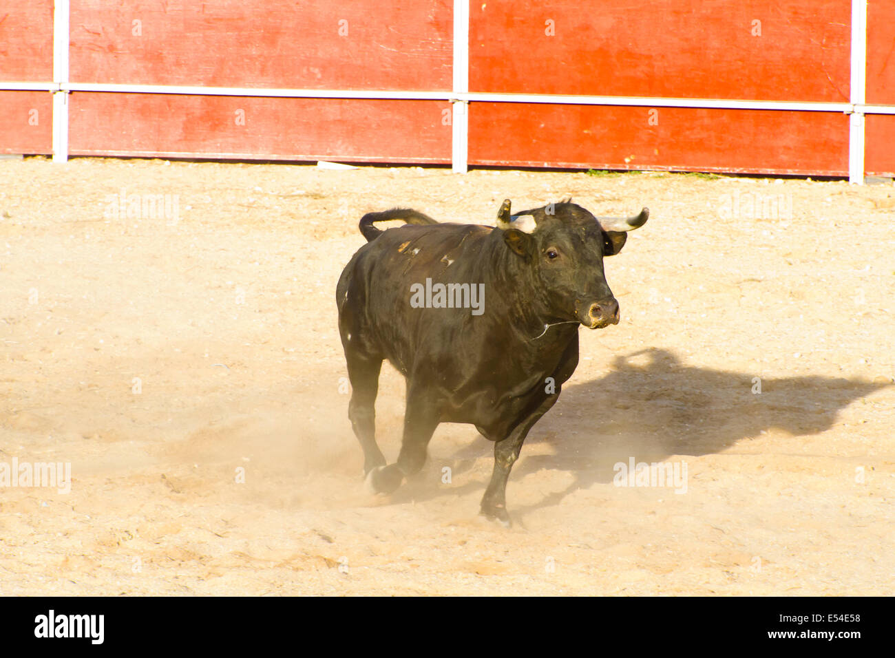 Spanish Bull Bullfight Animal Of Great Strength And Nobility