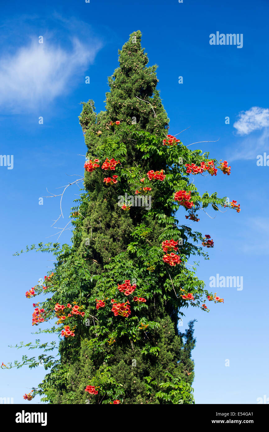 Red flowers in a conifer tree in Sivota, Greece. - Stock Image