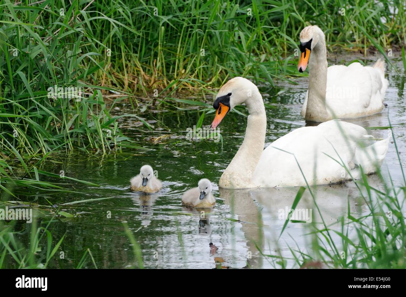A male and female mute swan chaperon their cygnets as they forage for food amongst the reeds. Stock Photo