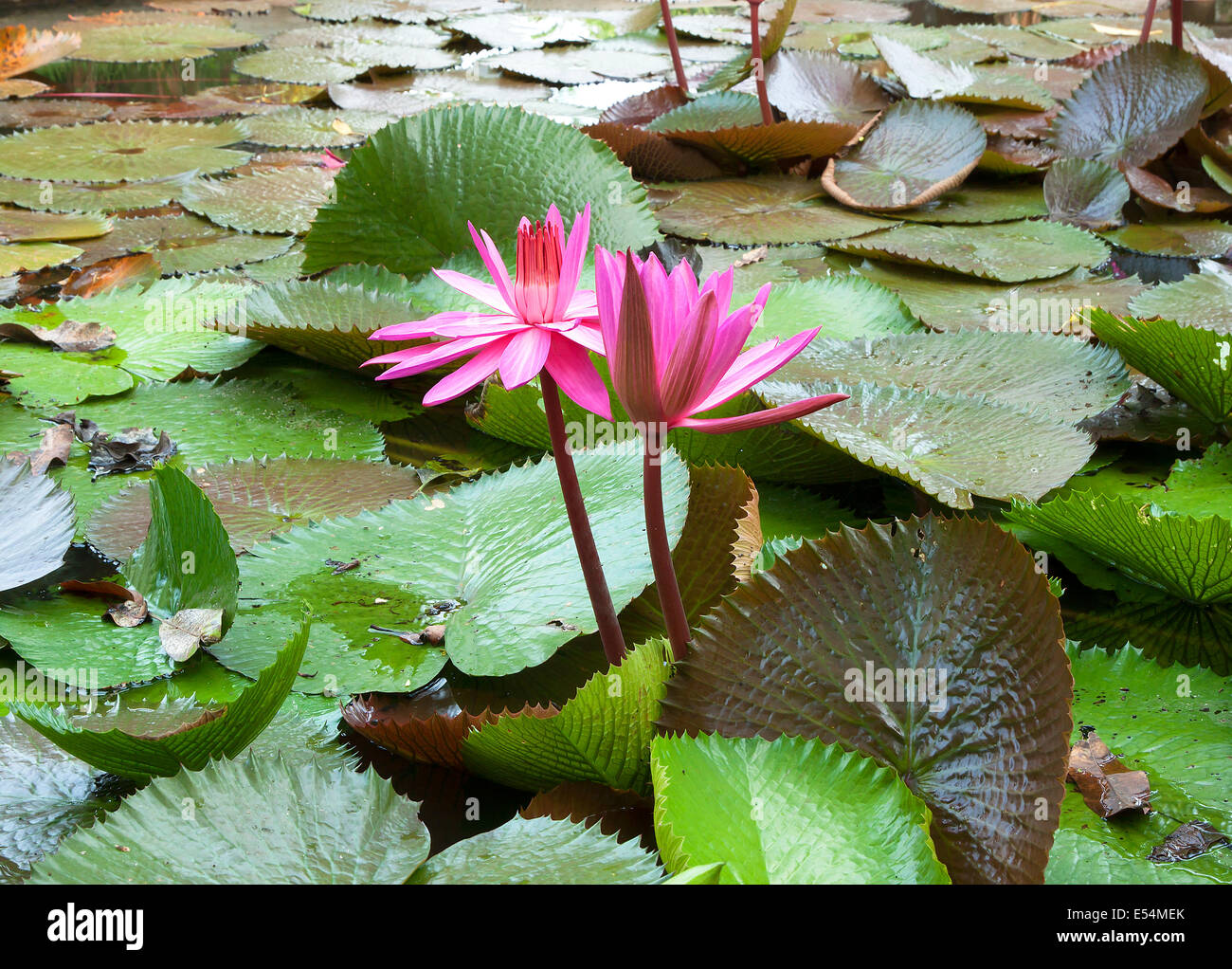 Image Of A Lotus Flower On The Water Stock Photo 72018651 Alamy