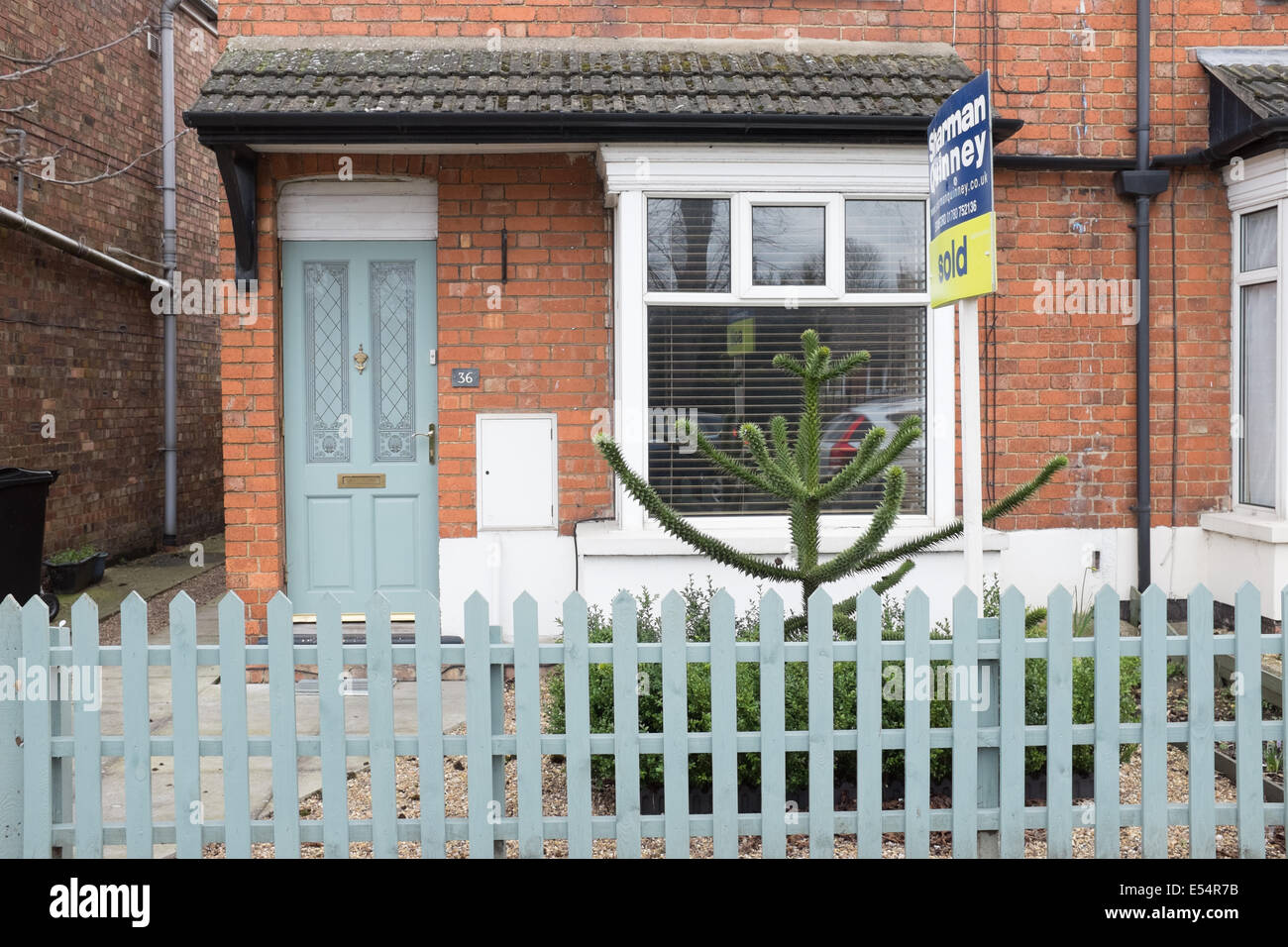 Young Monkey Puzzle tree in the front garden of a house 'for sale' in Lincoln UK. - Stock Image