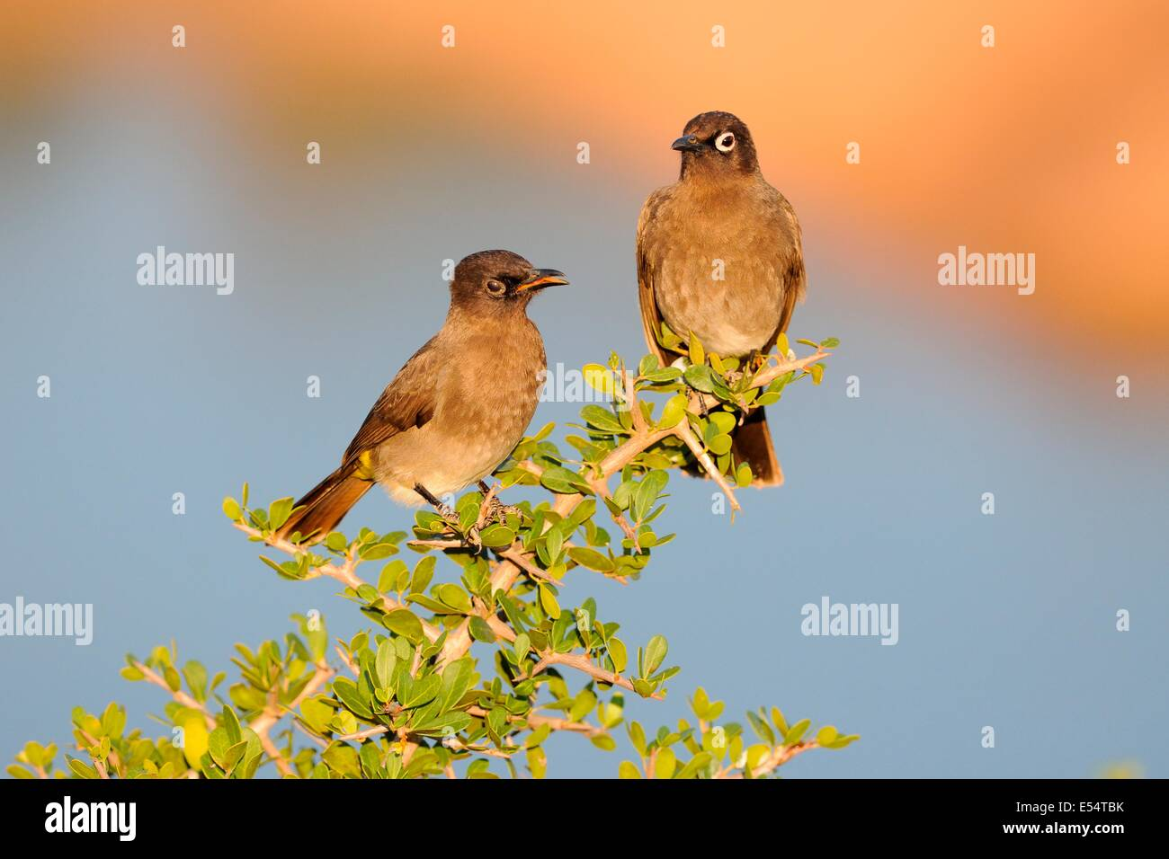 Two Cape Bulbuls (Pycnonotus capensis), juvenile on the left, Addo National Park, Eastern Cape, South Africa, Africa Stock Photo