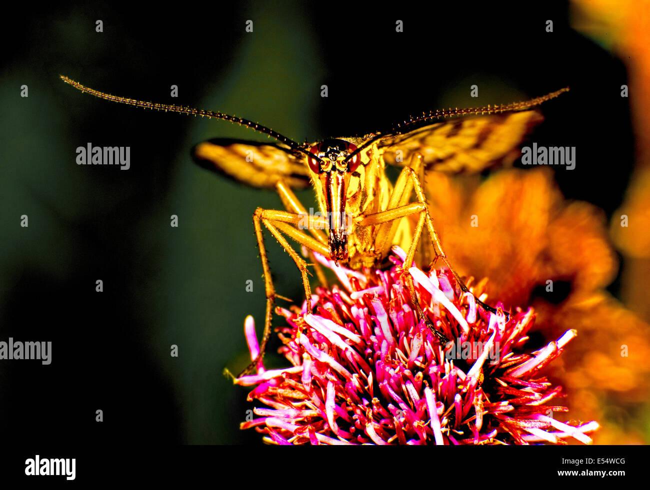 Grasshopper on a flower - Stock Image