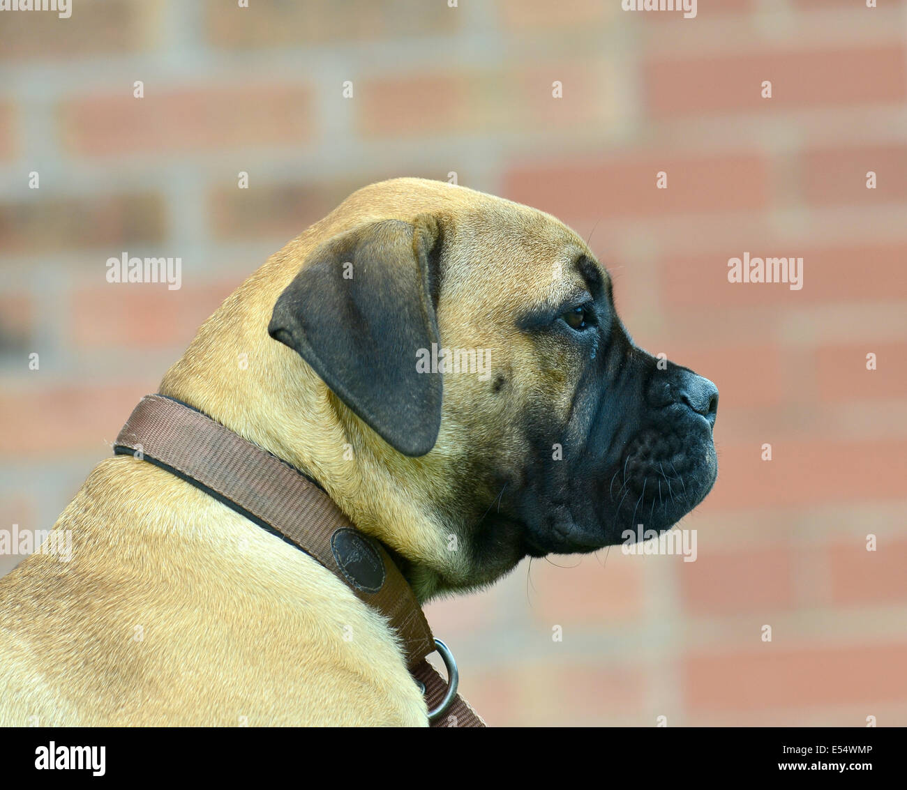 Young fawn coloured bullmastiff - Approx 3 months old - Stock Image
