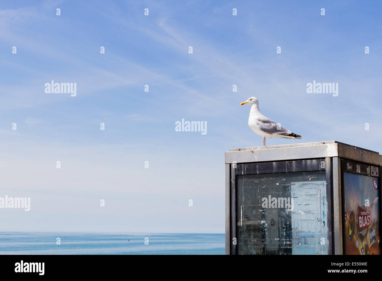 Herring gull (Larus argentatus) perched on a phone box, Brighton, East Sussex, England, UK - Stock Image