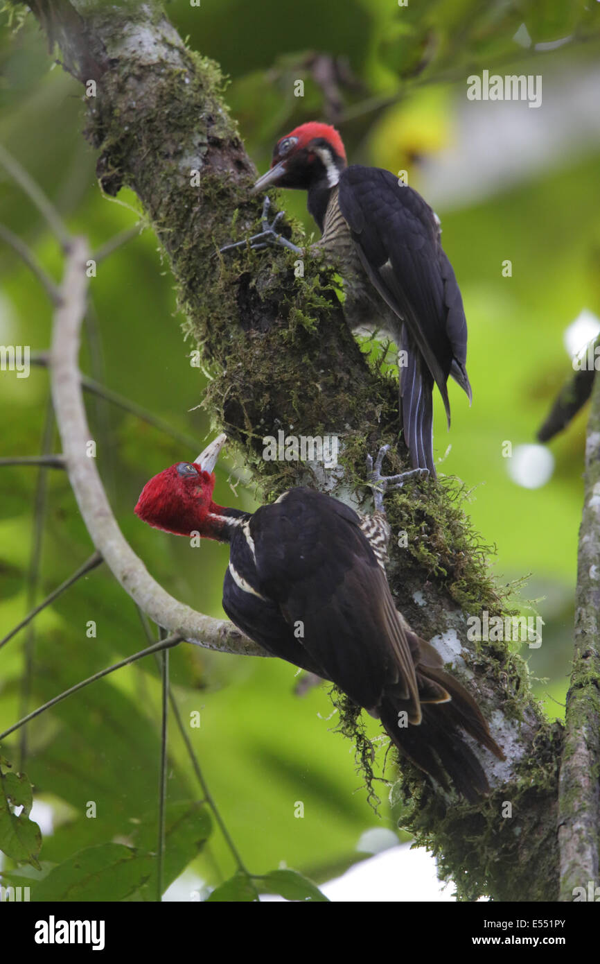 Pale-billed Woodpecker (Campephilus guatemalensis) adult male and juvenile, foraging on branch, La Selva Biological - Stock Image
