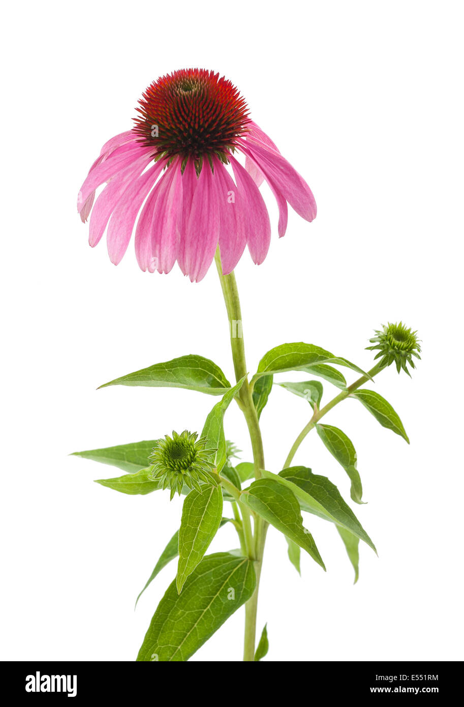 Purple Coneflower isolated on white - Stock Image
