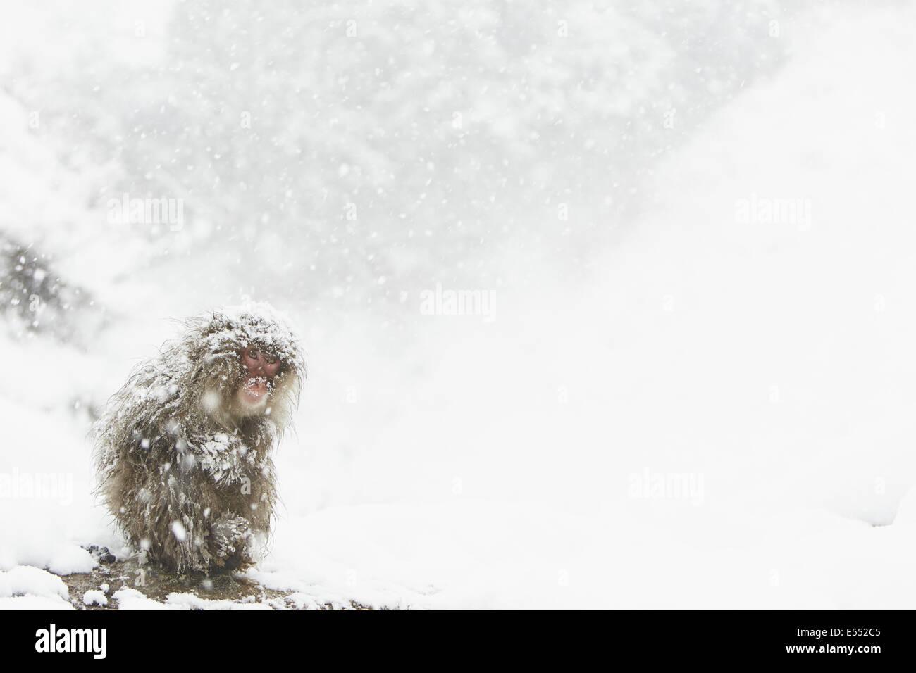 Japanese Macaque (Macaca fuscata) adult, huddled up during heavy snowfall, near Nagano, Honshu, Japan, February Stock Photo