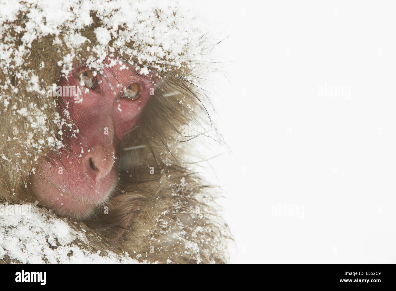Japanese Macaque (Macaca fuscata) adult female and baby, close-up of heads, cuddling during heavy snow, near Nagano, Stock Photo