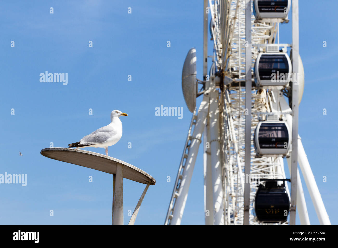 Herring gull (Larus argentatus)  Brighton, East Sussex, England, UK - Stock Image