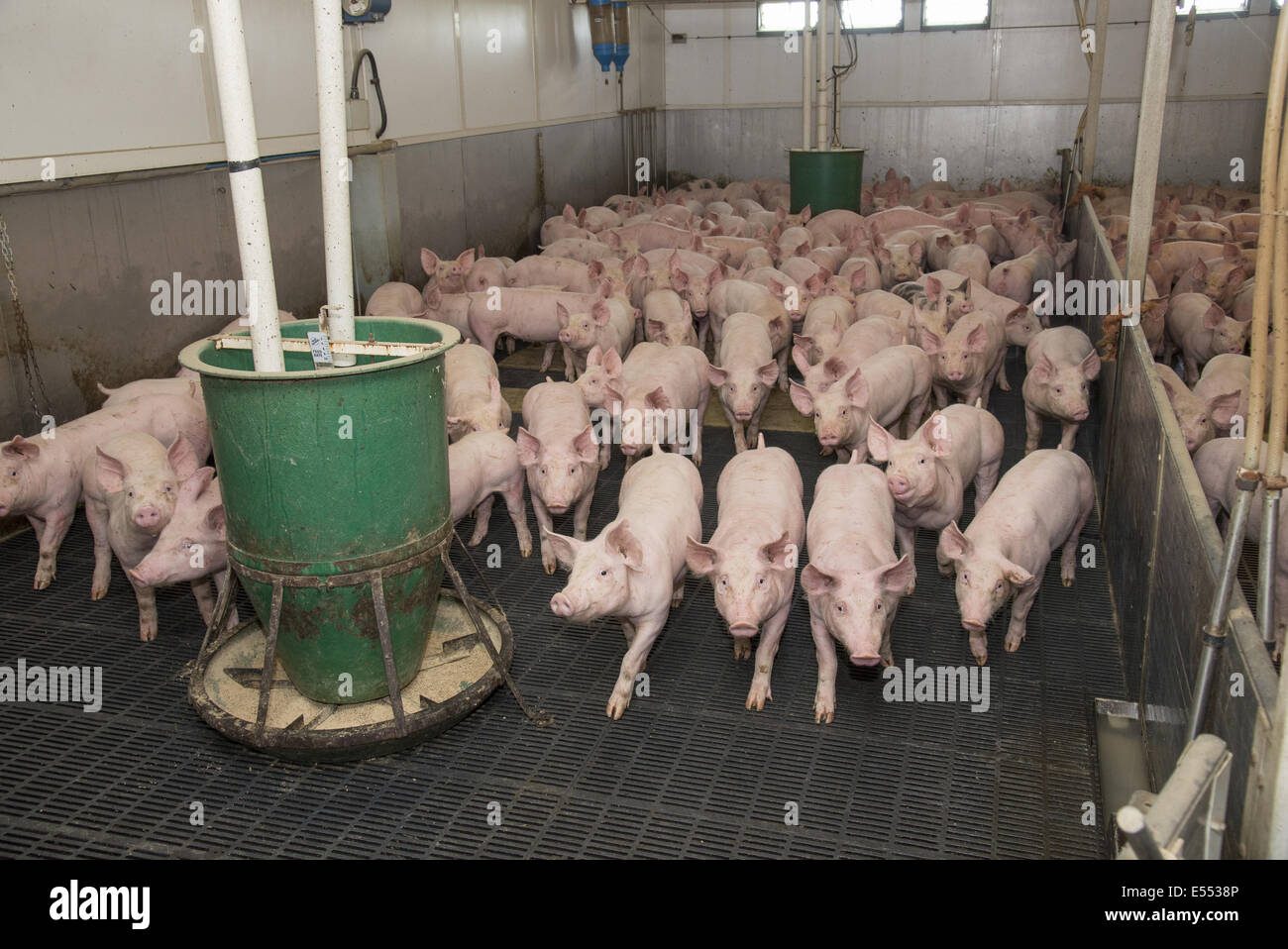 Pig Farming Growing Pigs With Automatic Feeders On Slats