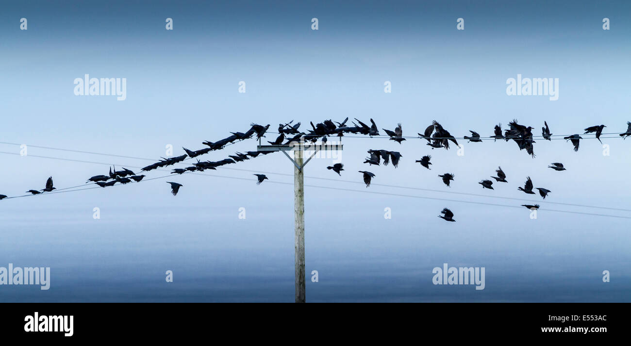 Crow On A Wire Stock Photos & Crow On A Wire Stock Images - Alamy