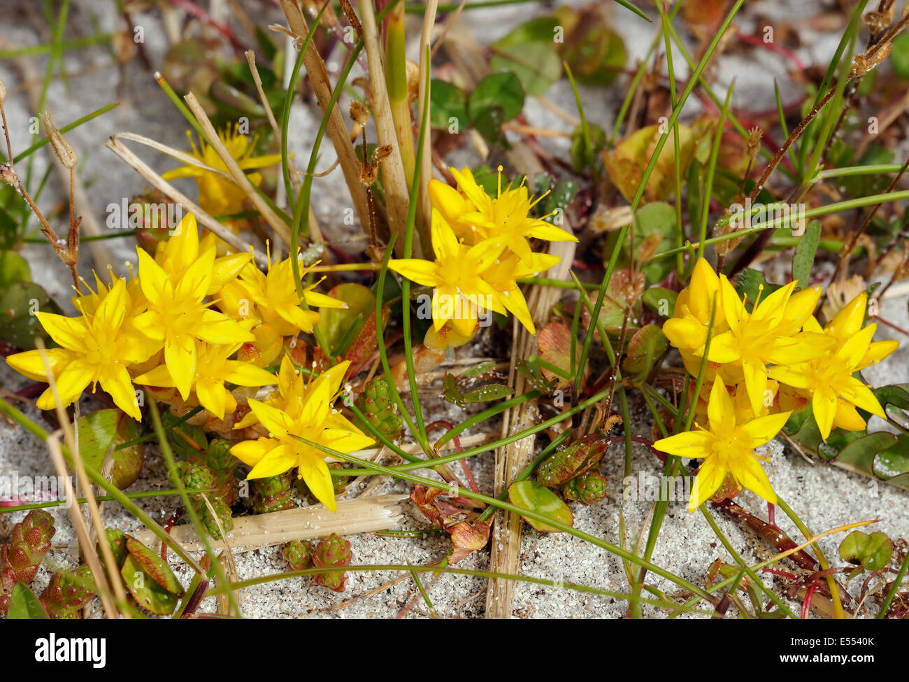Biting Stonecrop - Sedum acre, Growing on Shell Sand Dunes on North Uist - Stock Image