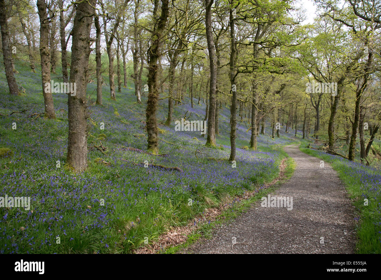 Old oak woodland with bluebells Glen Finglas woodland formerly Royal Hunting Forest Trossachs Scotland UK - Stock Image