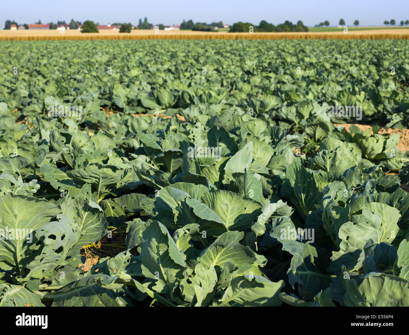 ECO white cabbage field green economy eco-trend - Stock Image