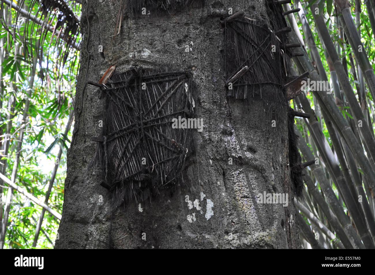 Tree graves for babies, Sangalla, Tana Toraja, Sulawesi, Indonesia - Stock Image