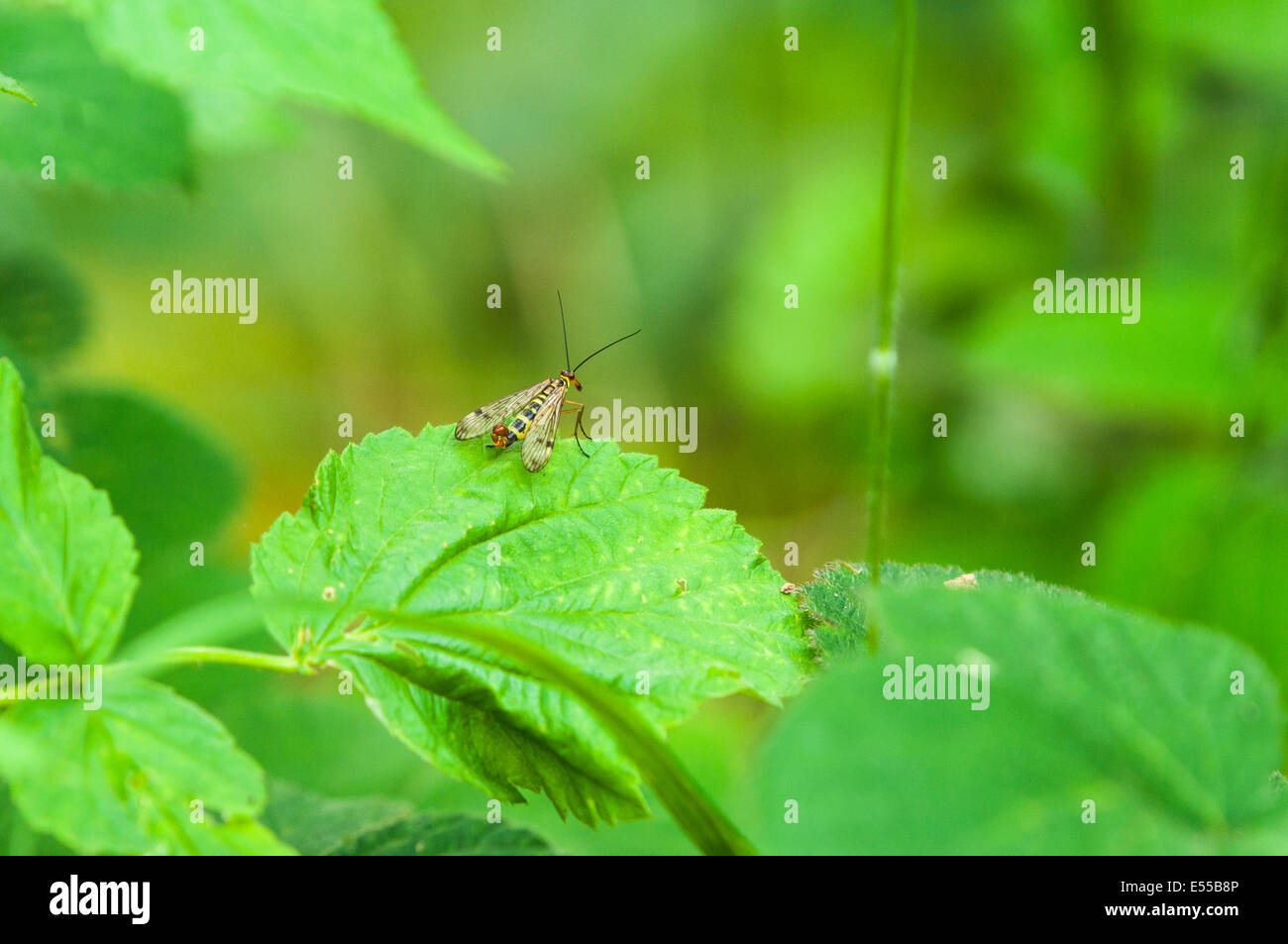 A male Scorpionfly, Panorpa communis, resting on nettle, Urtica dioica Stock Photo