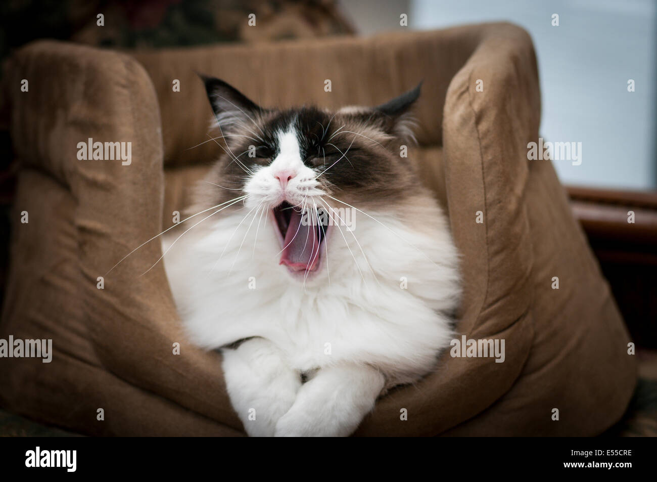 Young Ragdoll cat yawning after waking in her bed - Stock Image