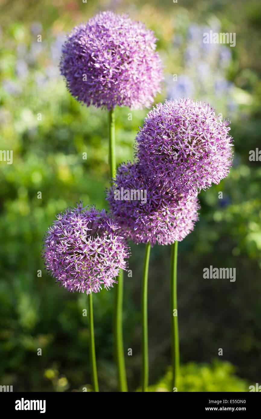 Four pink allium flowers - Stock Image