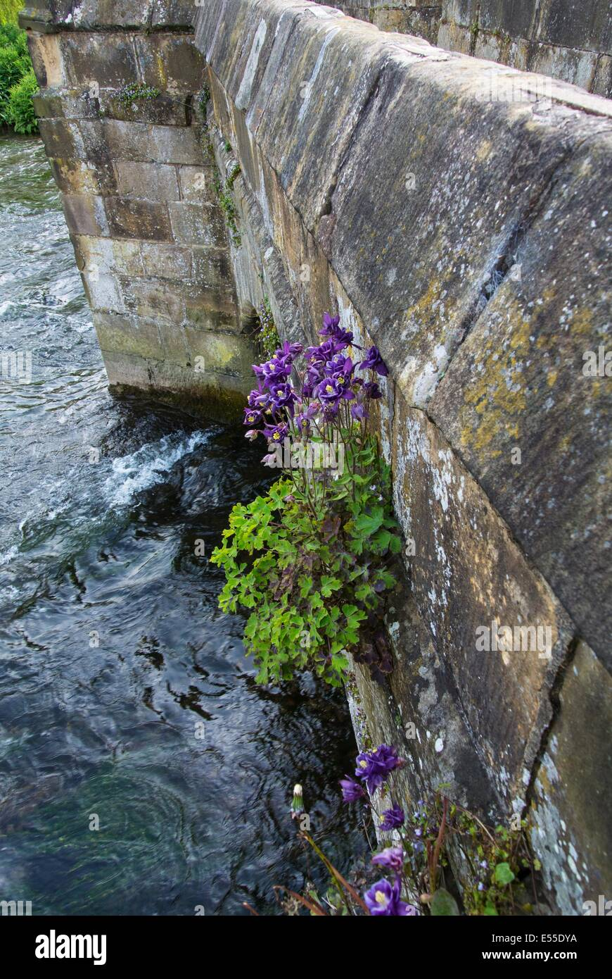 Aquilegia vulgaris,  Granny's Bonnet or Columbine, garden escapee naturalised on the stonework on Holme bridge, - Stock Image