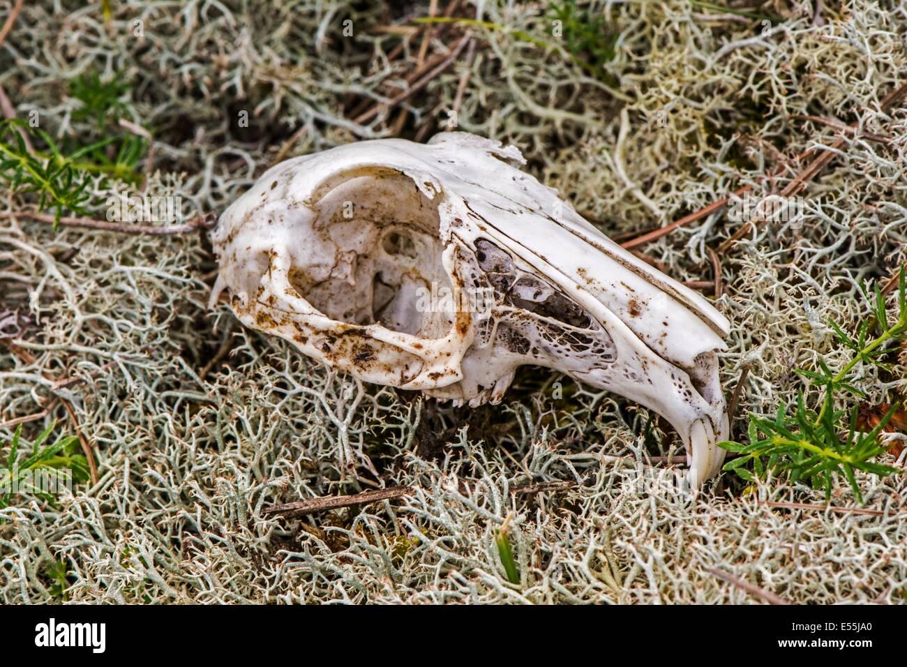 Skull of Rabbit, European rabbit or common rabbit (Oryctolagus cuniculus) - Stock Image