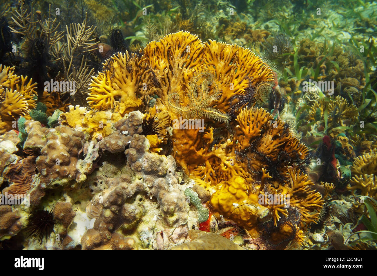 branching fire coral, Millepora alcicornis with brittle stars, Caribbean sea - Stock Image