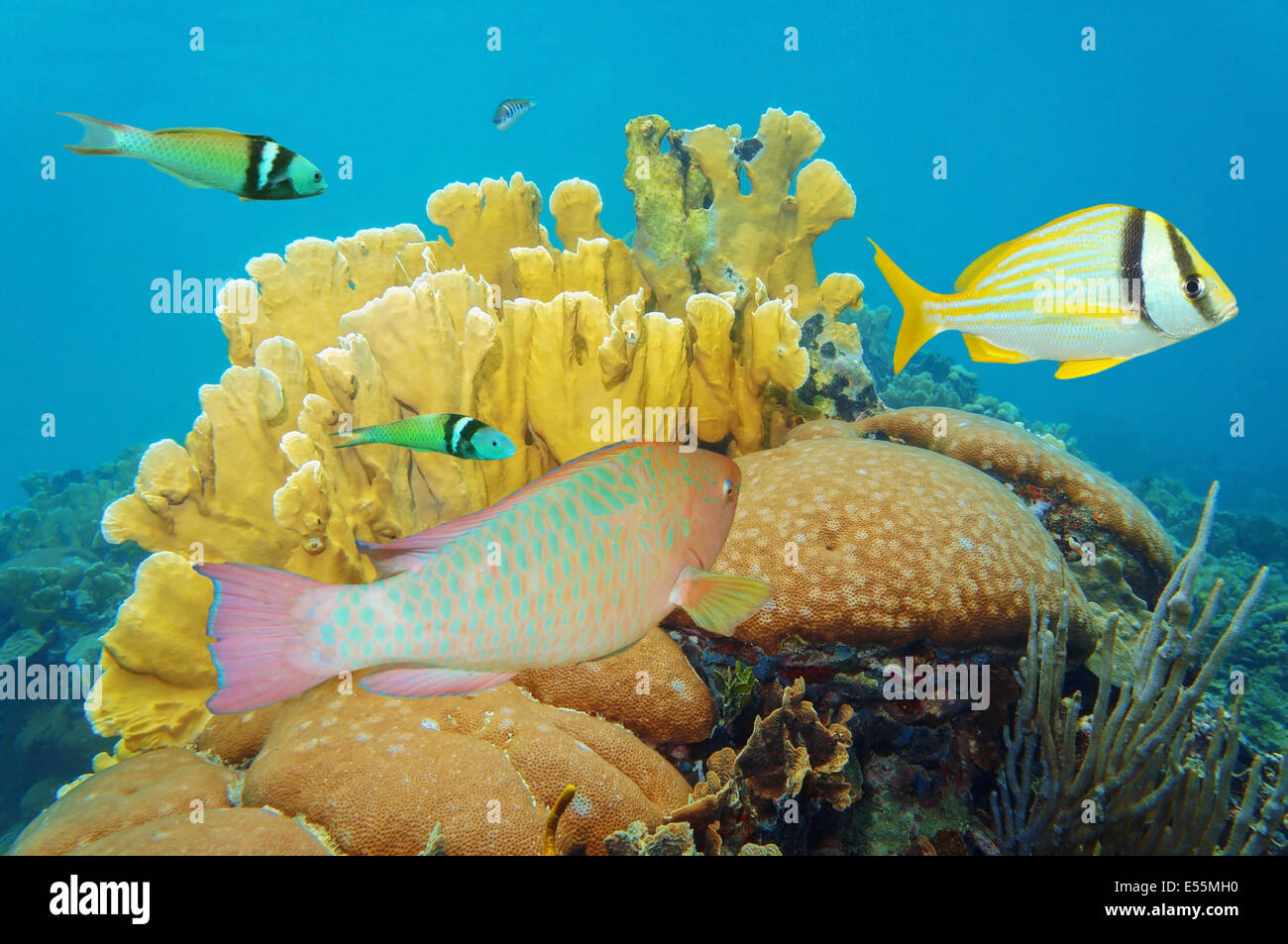 corals under the sea with colorful tropical fish, Caribbean, Mexico - Stock Image