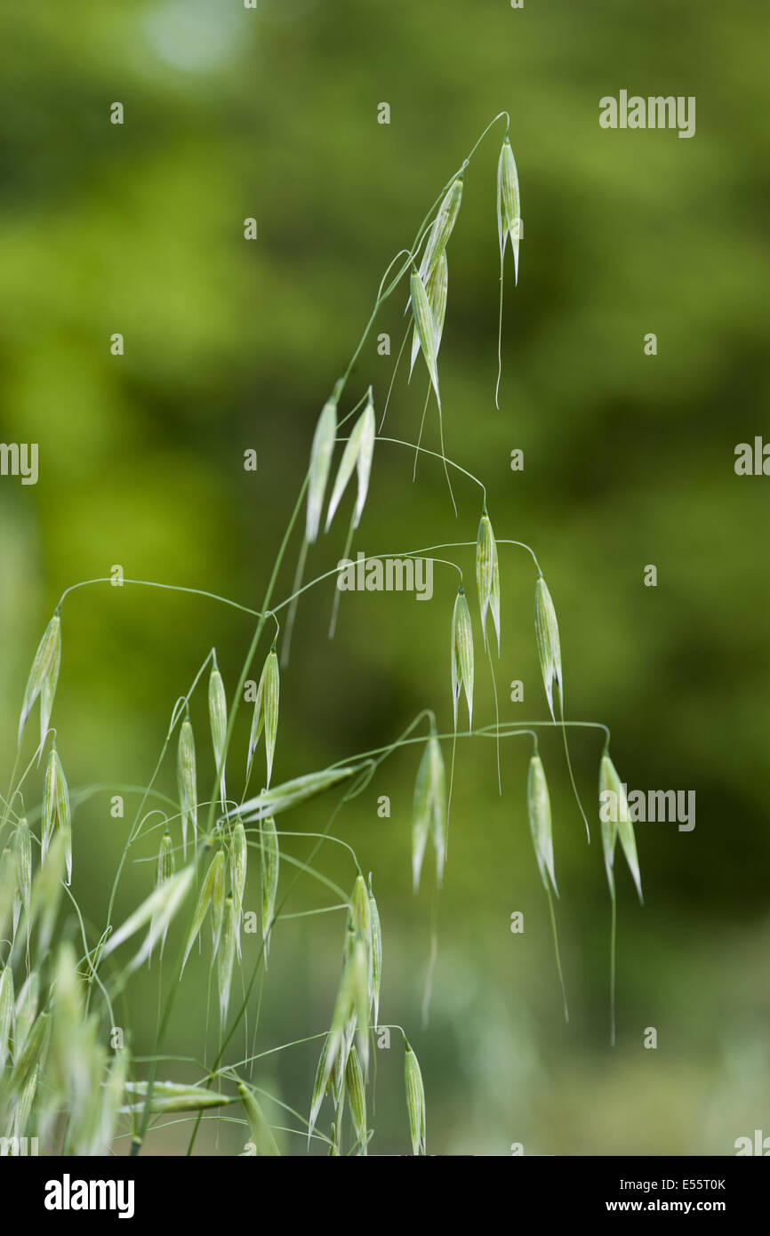 common wild oat, avena fatua Stock Photo
