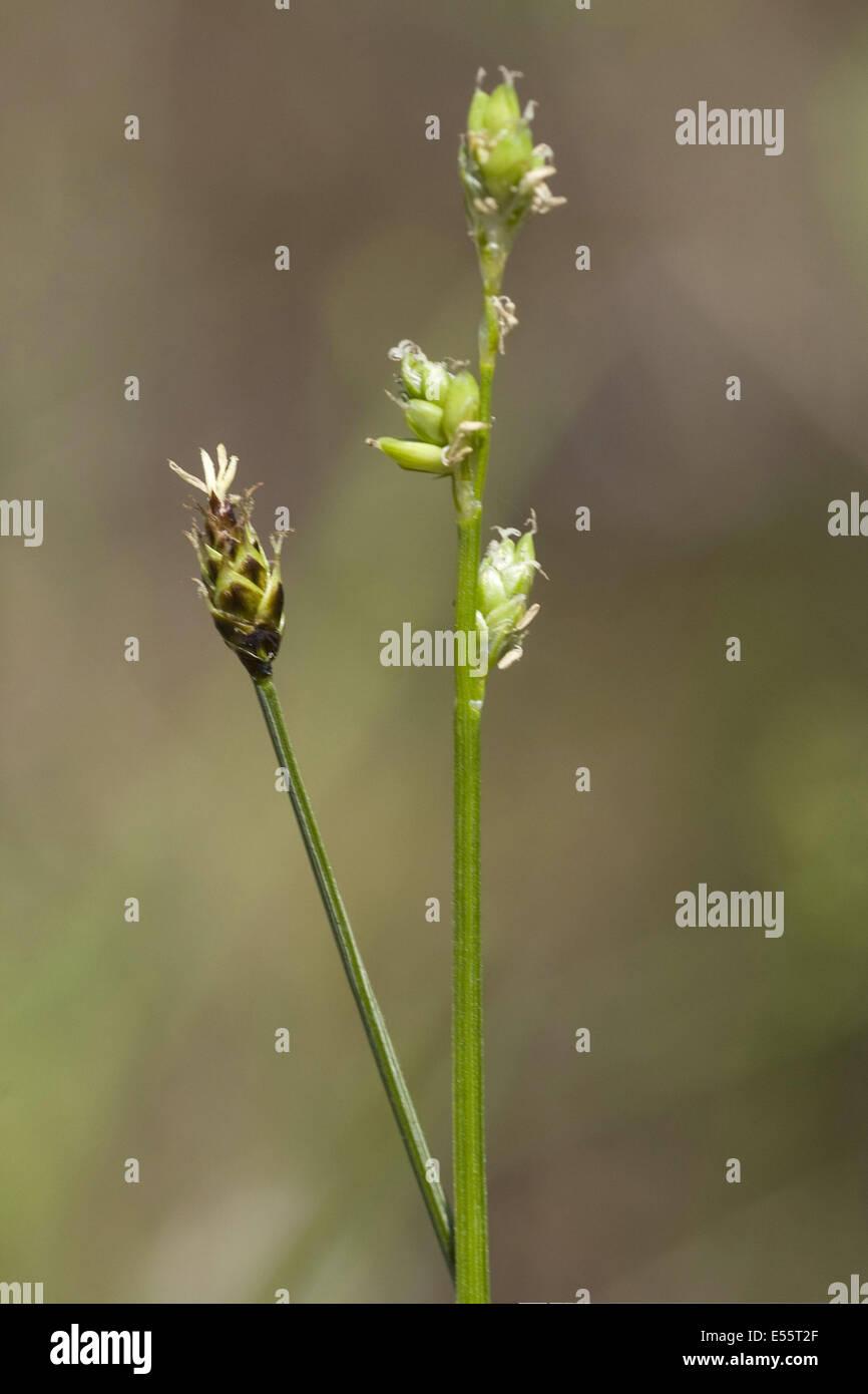 carex loliacea - Stock Image