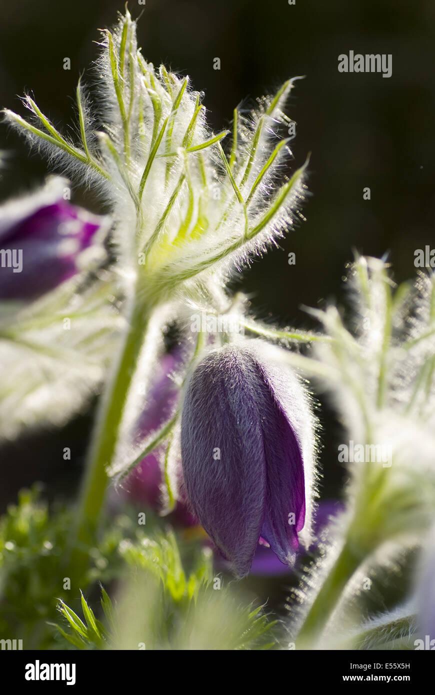haller's pasqueflower, pulsatilla halleri - Stock Image