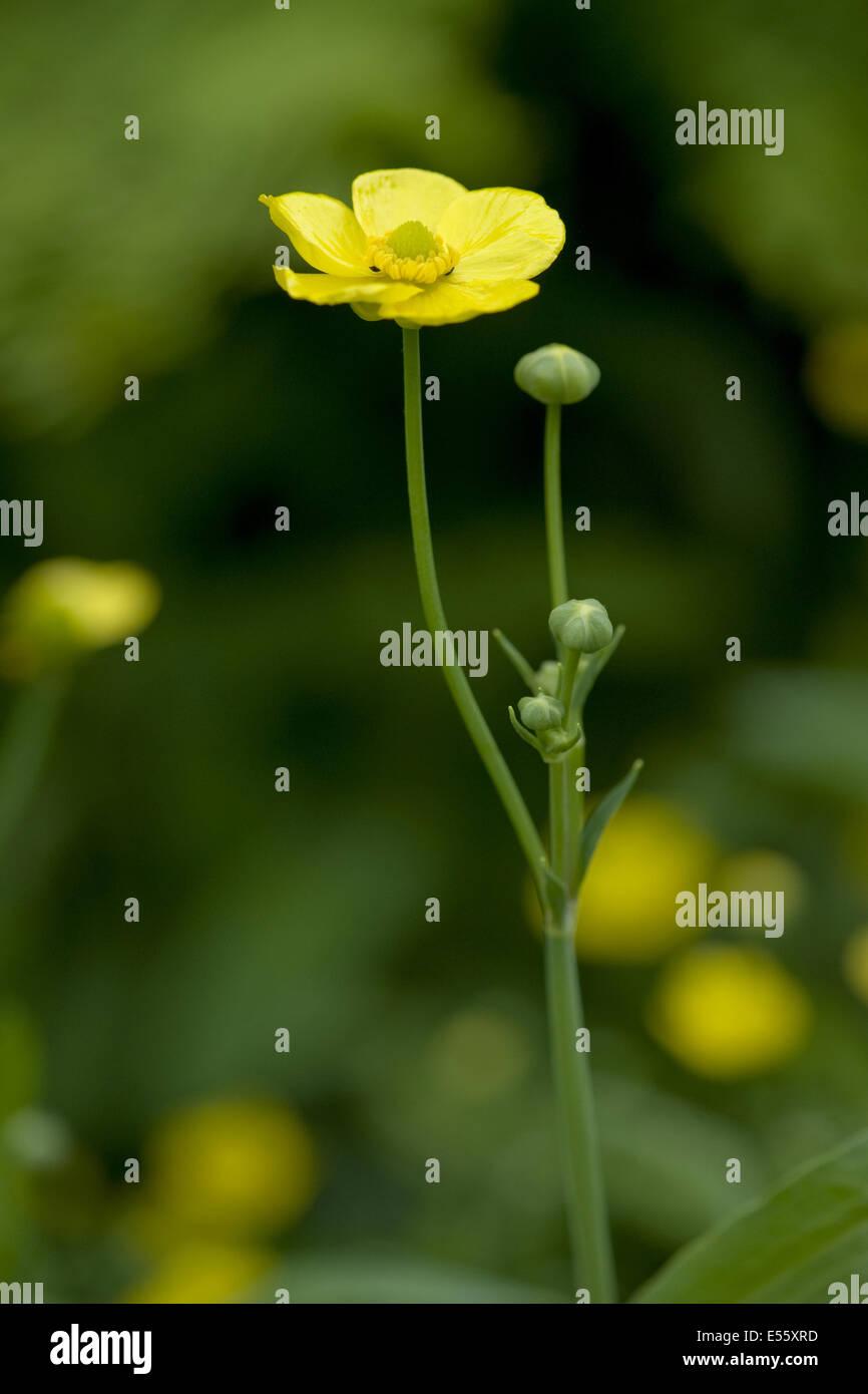 greater spearwort, ranunculus lingua - Stock Image