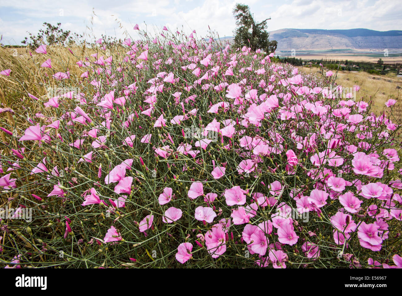 Splendid Bindweed (Convolvulus dorycnium) Photographed in Israel in May - Stock Image