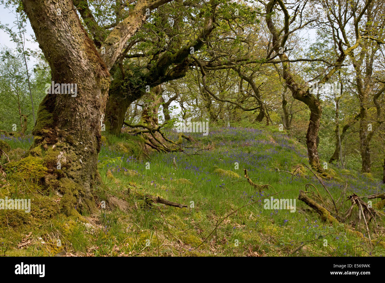 Ancient oak woodland with bluebells Glen Finglas woodland formerly Royal Hunting Forest Trossachs Scotland UK - Stock Image