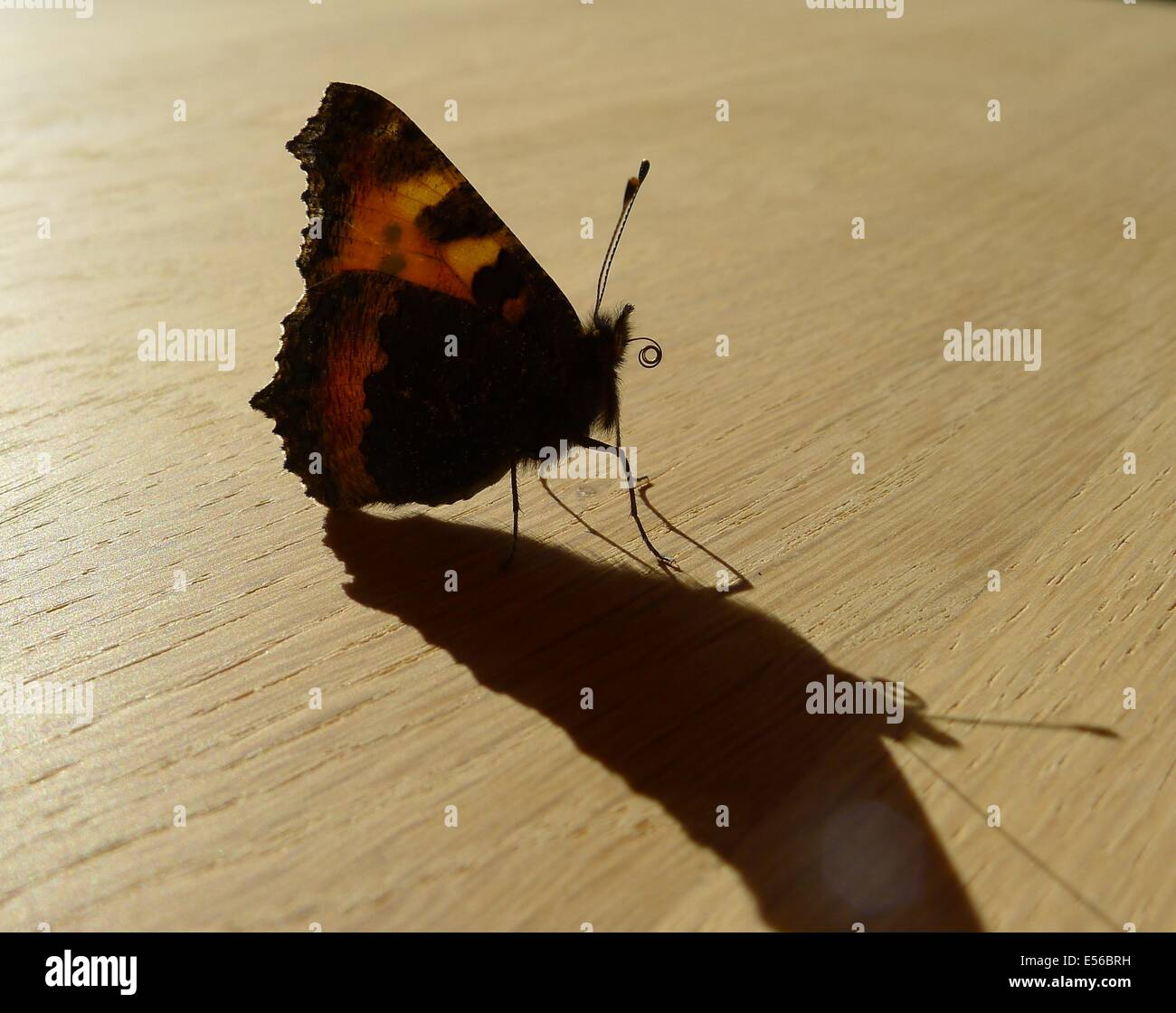 Small Tortoiseshell Butterfly showing Proboscis - Stock Image