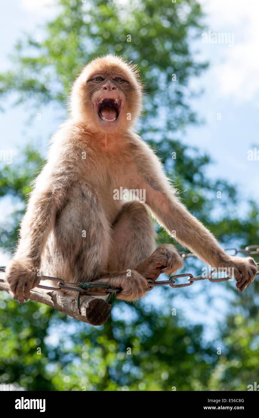 Aggressive Growling Monkey baring teeth - Stock Image