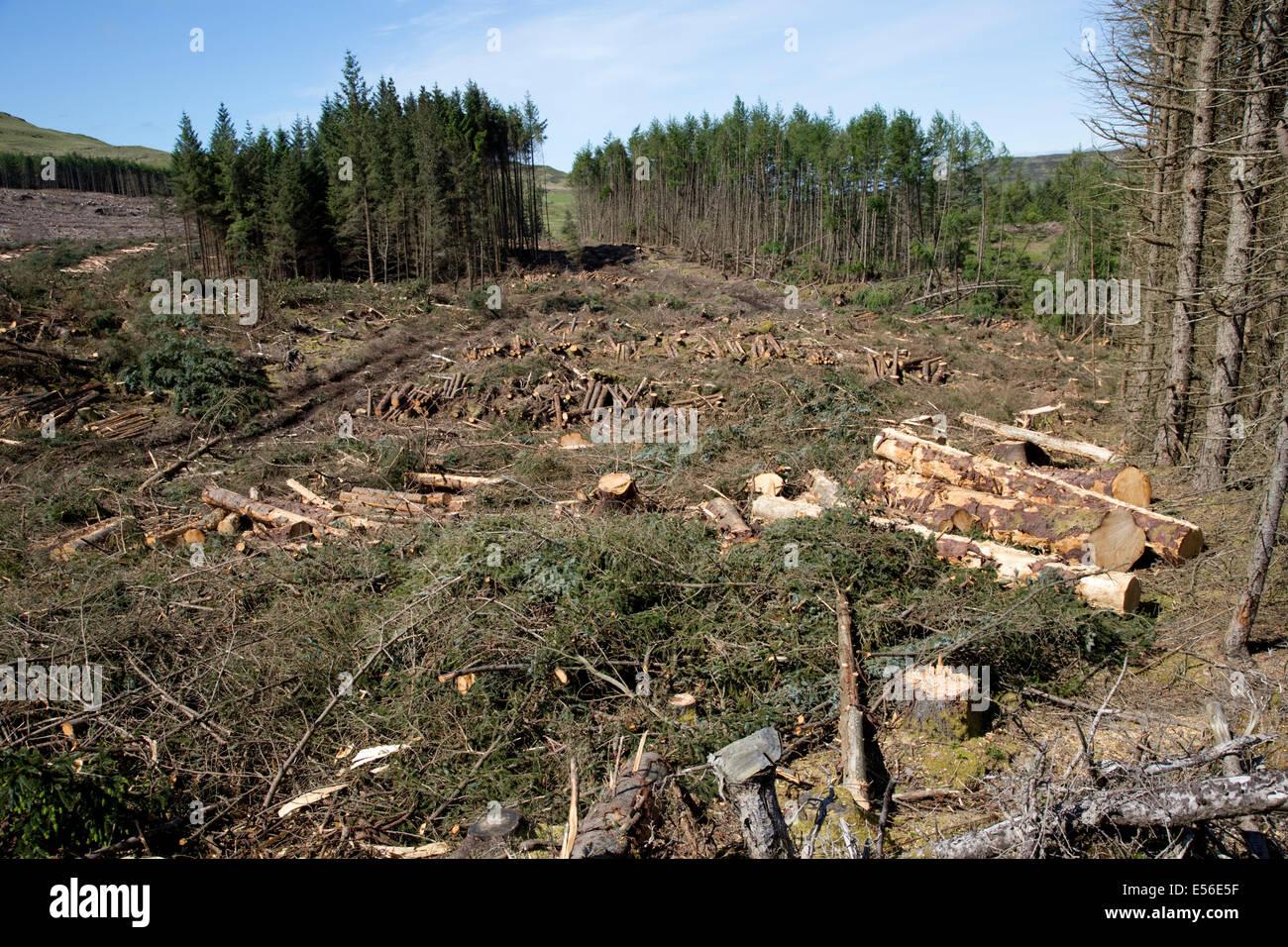 Harvesting pine trees North West Mull Community woodland Isle of Mull Scotland - Stock Image