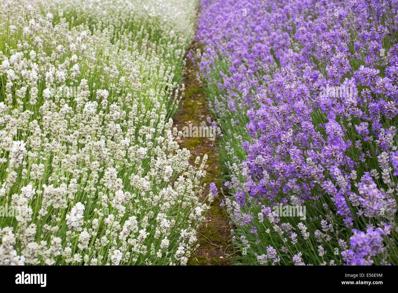 Lavandula Angustifolia. Lavender 'arctic snow' and 'cedar blue' at Snowshill farm Gloucestershire - Stock Image