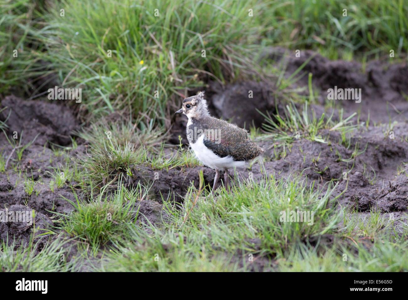 Lapwing or Peewit Highland Wildlife Park Kincraig Inverness Scotland Stock Photo