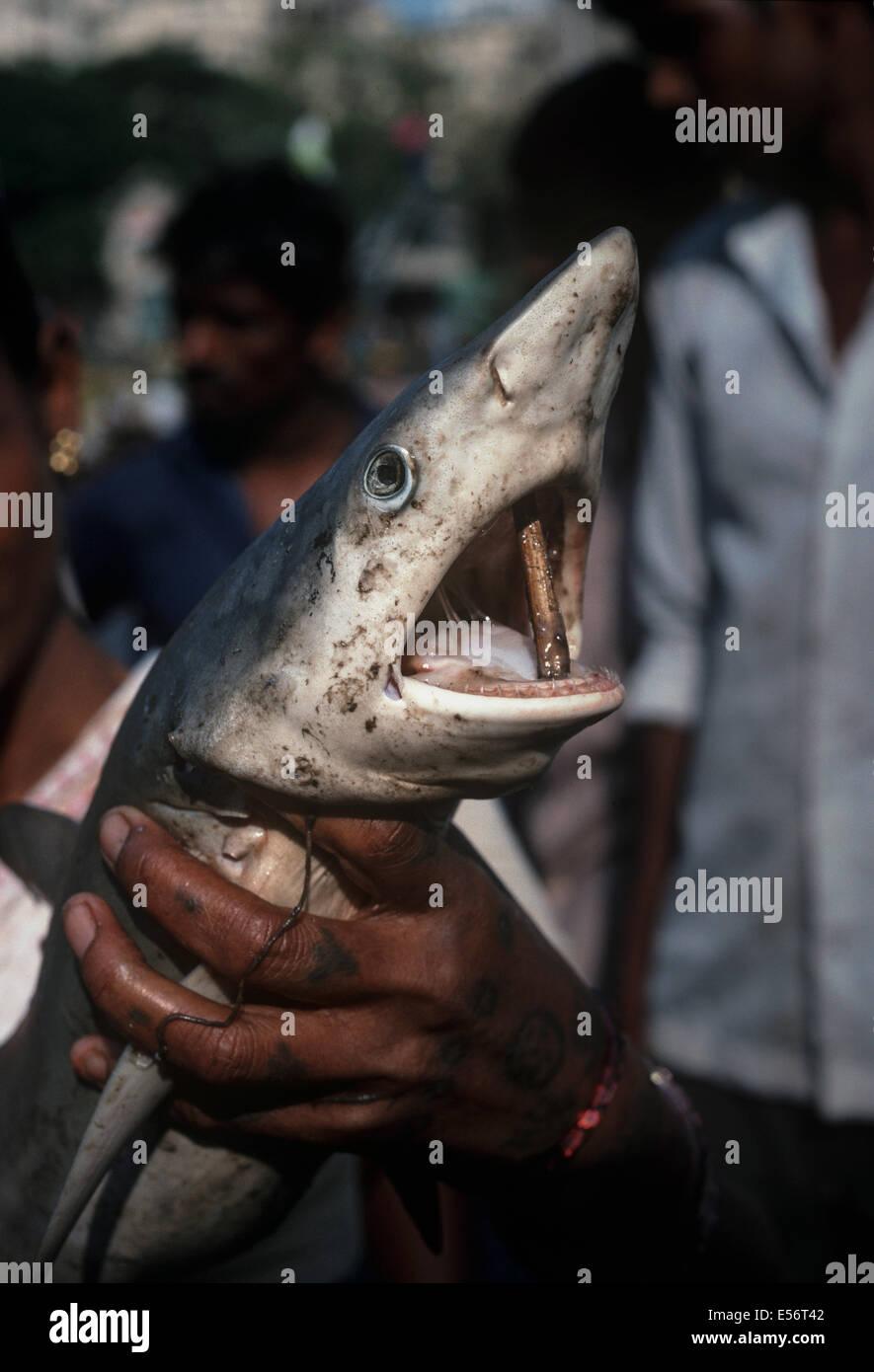 Reef shark (Carcharhinus perezi) being sold at the Bombay Fish Market. Bombay, India - Stock Image