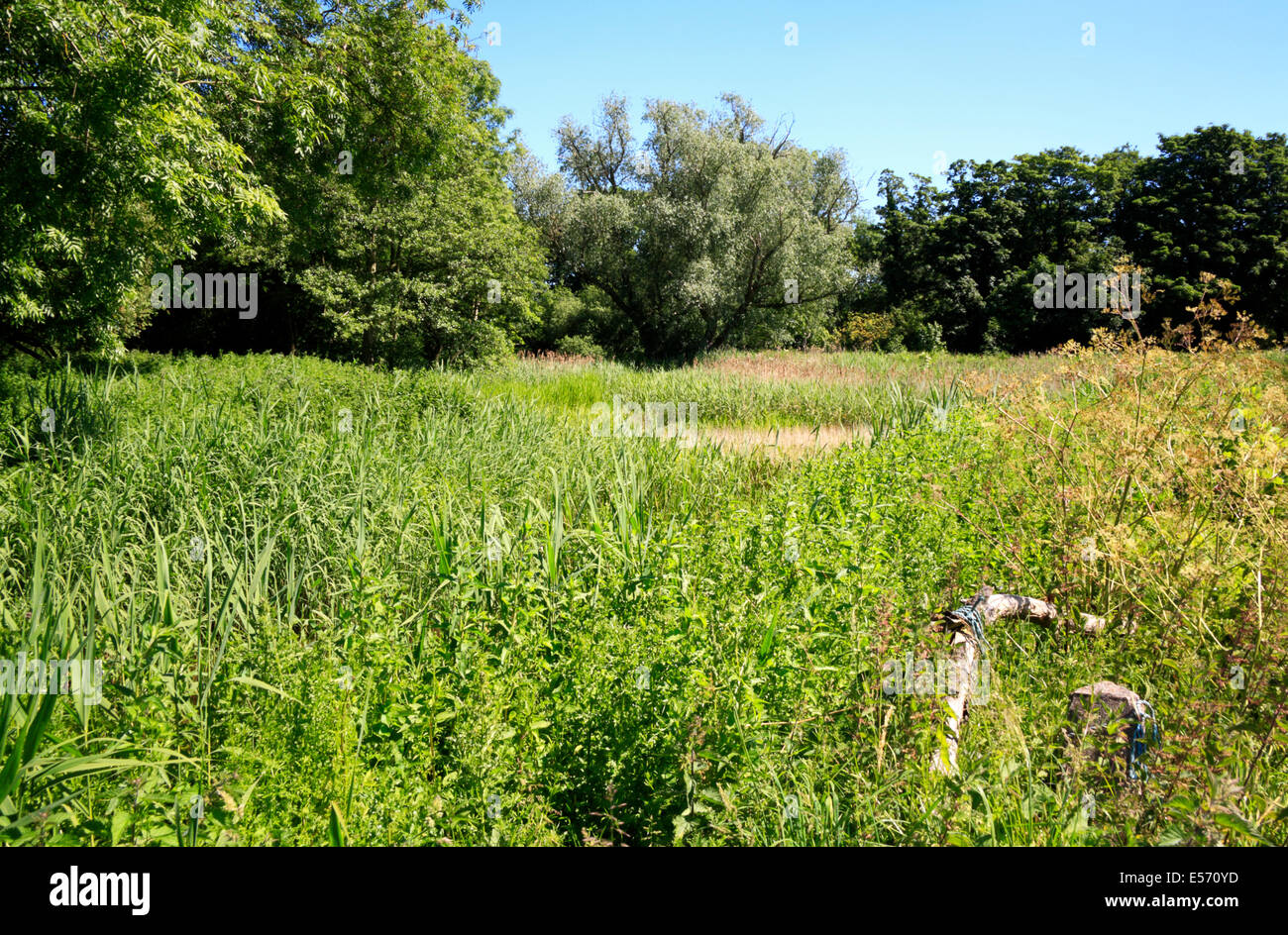 A view of the overgrown former mill pool at Briggate, near North Walsham, Norfolk, England, United Kingdom. - Stock Image