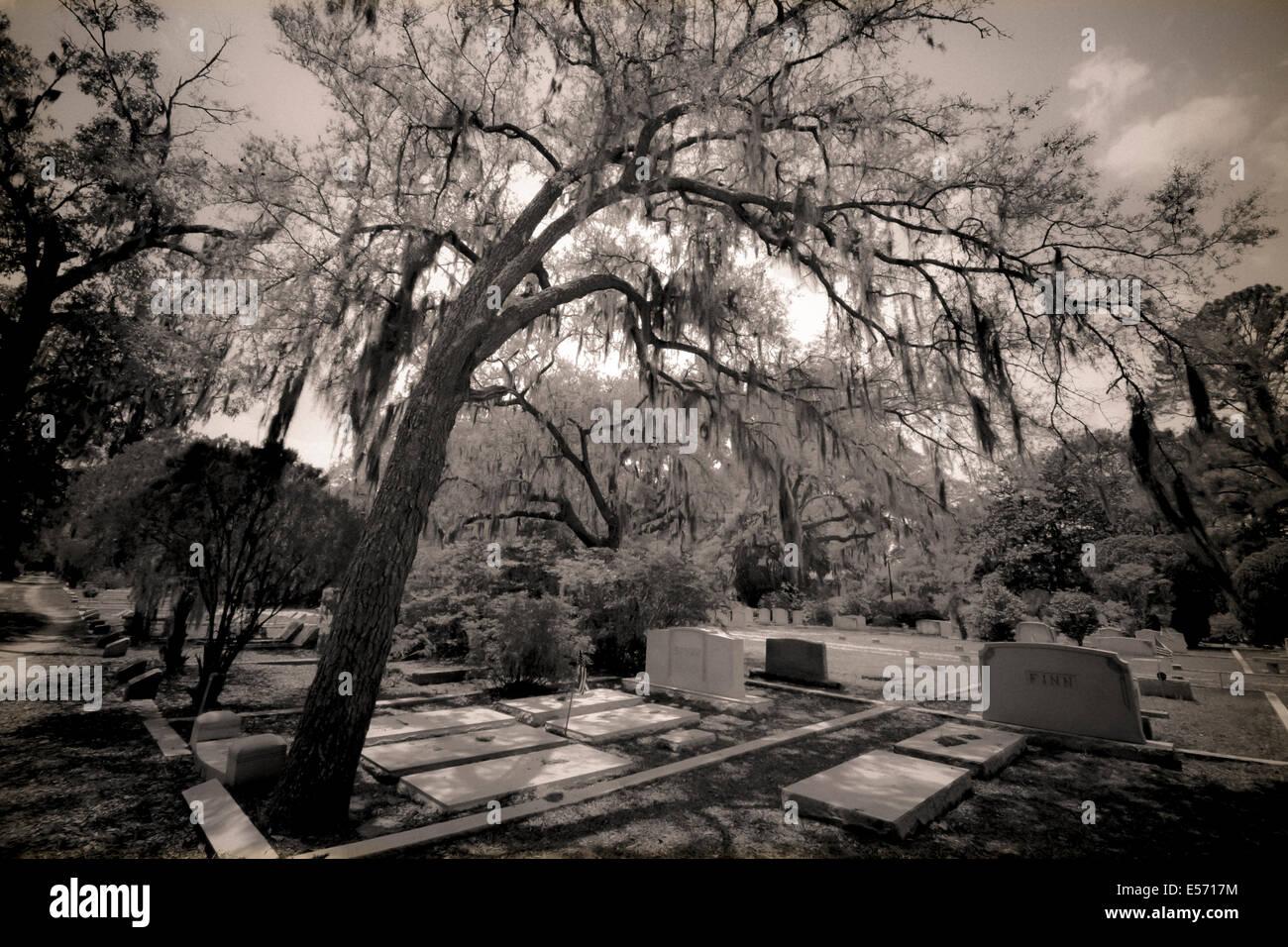 An impressive oak tree bends over the grasvesites in the legendary Bonventure Cemetery in Savannah, GA, USA - Stock Image
