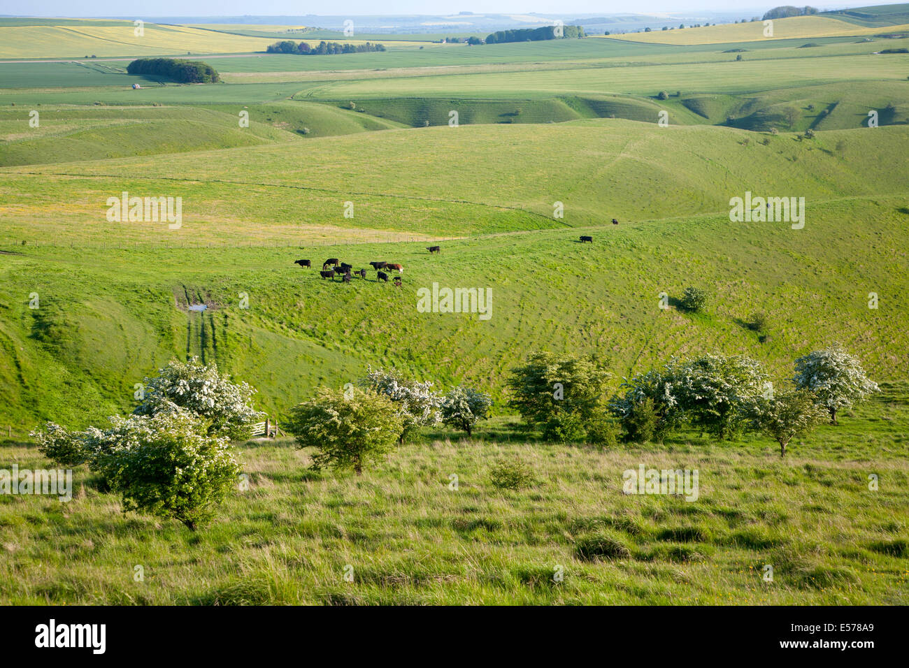Summer view of grazing grass fields and chalk landscape from Cherhill Down. Wiltshire, England Stock Photo